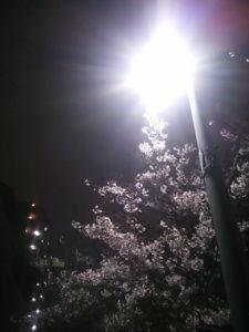 地元の公園の夜桜の写真